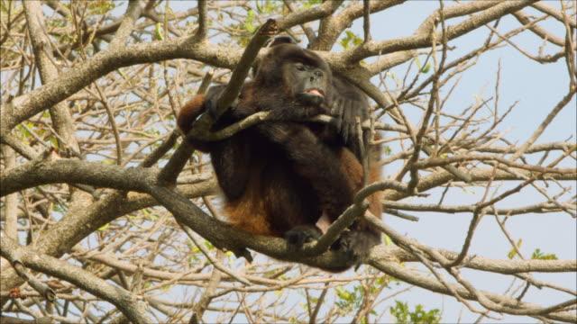 slumberous monkey with mouth open - 一匹点の映像素材/bロール
