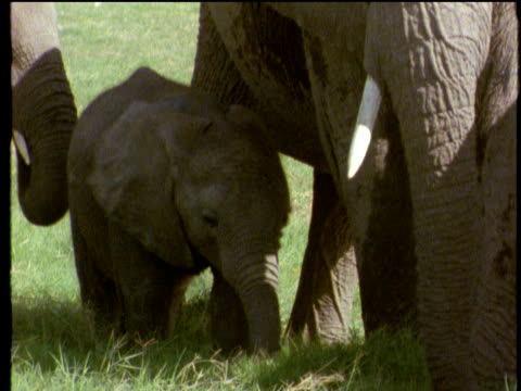 small african elephant calf wanders along eating green grass being chaperoned by parents - babyhood stock videos & royalty-free footage