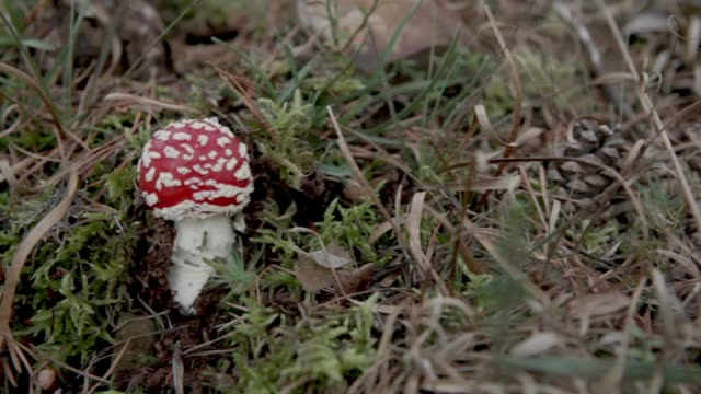 Small amanita muscaria mushroom