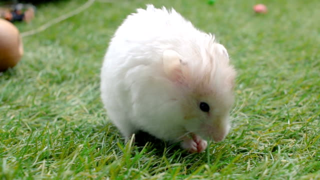 Small and cute Golden hamster eating on grass outdoor