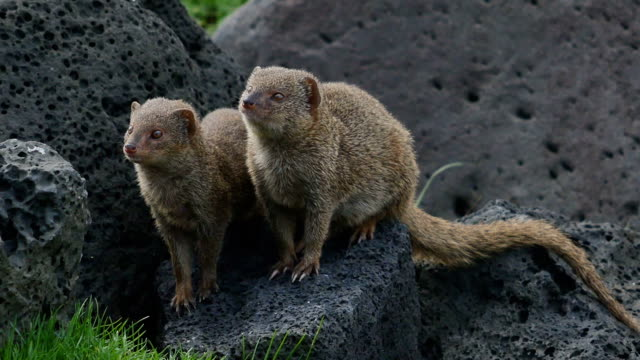 small asian mongoose family - hawaiian culture stock videos & royalty-free footage