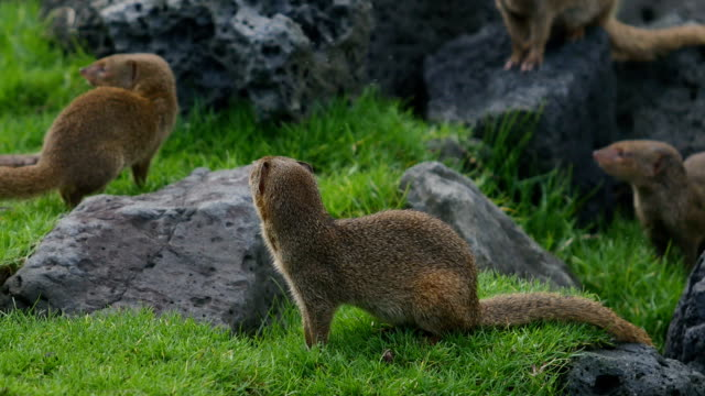 small asian mongoose family - big island hawaii islands stock videos & royalty-free footage