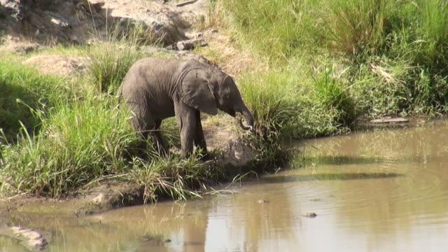 MS Small baby elephant drinking water at waterhole in masai mara national park AUDIO / Masai Mara, Rift Valley, Kenya
