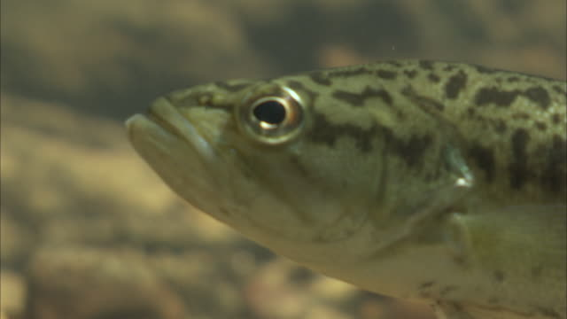 a small bass wiggles its fins as it hovers on a riverbed. - fish stock videos & royalty-free footage