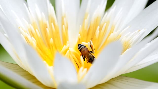 vídeos de stock, filmes e b-roll de pequeno abelha em branco de lótus - abelha obreira