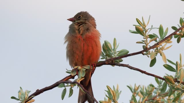 small bird perching on the twig against blue sky and singing - birdsong stock videos & royalty-free footage