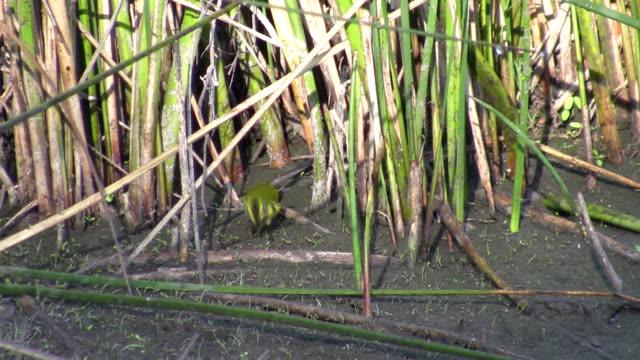 small bird - bulrush stock videos & royalty-free footage