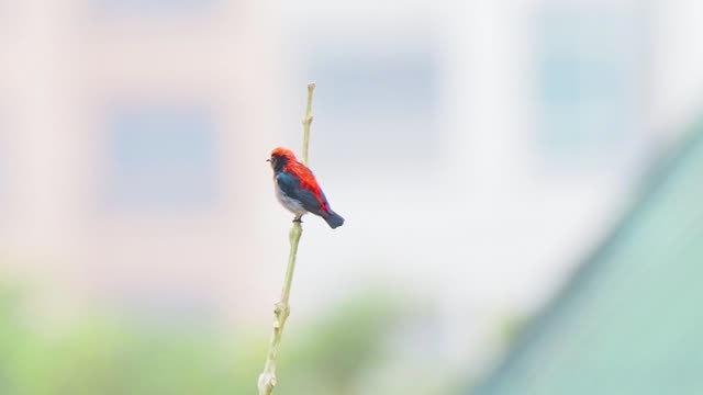 small bird with red feathers on back perched on twig. scarlet backed flowerpecker - スズメ亜目点の映像素材/bロール