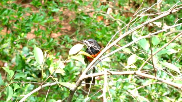 small black bird holding twig in the beak - bird's nest stock videos and b-roll footage