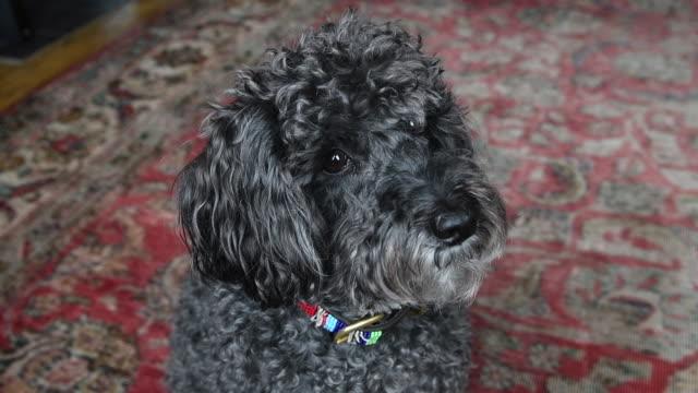vídeos de stock e filmes b-roll de small black dog looking at his owner - nariz de animal