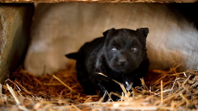 small black dog - hay texture stock videos & royalty-free footage