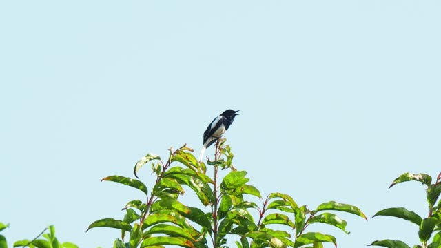 small black singbird perched on top of tree and singing. oriental magpie robin - elster stock-videos und b-roll-filmmaterial