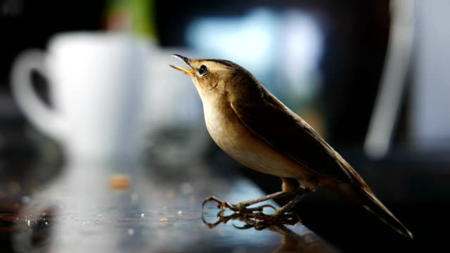 small brown nightingale sitting on a restaurant table - nightingale stock videos & royalty-free footage
