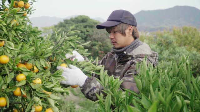 柑橘類農場でオレンジを摘む中小企業の農場の所有者 - 農園点の映像素材/bロール