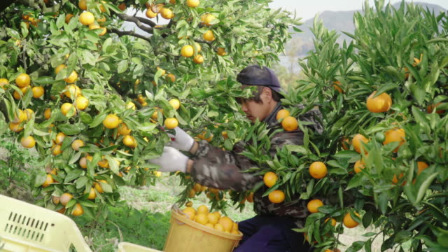 柑橘類農場でオレンジを摘む中小企業の農場の所有者 - 農業点の映像素材/bロール