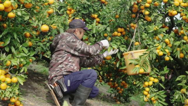 vídeos y material grabado en eventos de stock de un dueño de una pequeña granja de negocios recogiendo naranjas en su granja de cítricos - actividad de agricultura