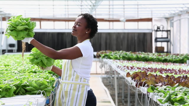 ms ds  small business owner inspecting produce in hydroponic lettuce farm greenhouse / richmond, virginia, united states - orticoltura video stock e b–roll