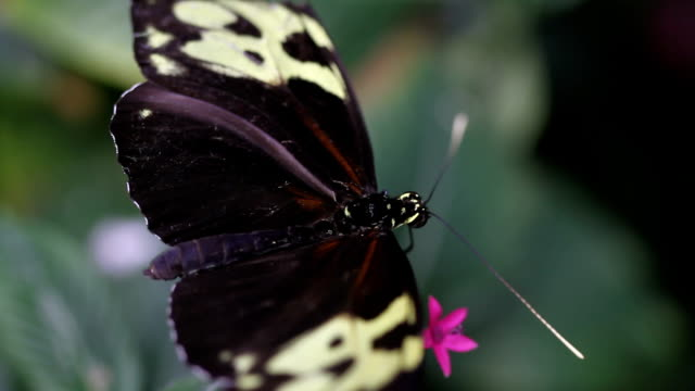 Small Butterfly HD 1080p