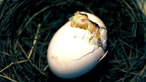 kleines huhn borning - jungvogel stock-videos und b-roll-filmmaterial