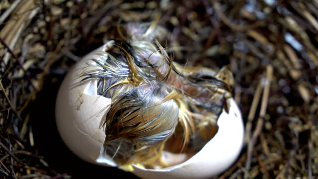small chicken hatching - egg stock videos & royalty-free footage