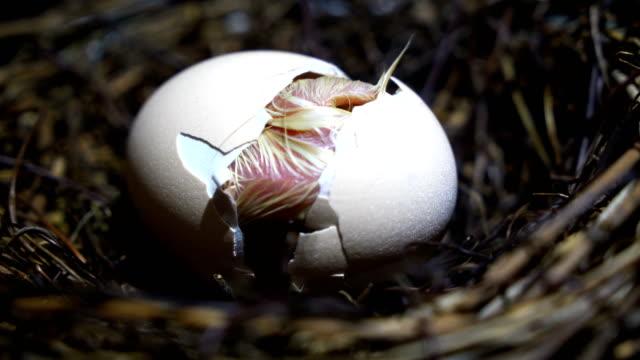 小さな鶏孵化 - 玉子点の映像素材/bロール