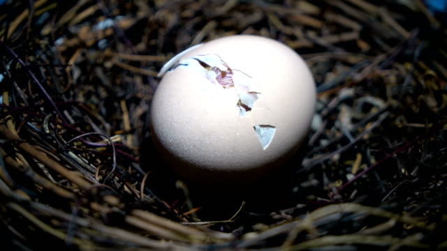 small chicken hatching - young bird stock videos & royalty-free footage