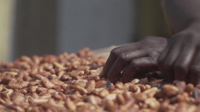 """small cocoa farmers in ghana, who still harvest and work the bean by hand, say there is no future for cocoa farming in the country """"because of the... - ghana stock videos & royalty-free footage"""