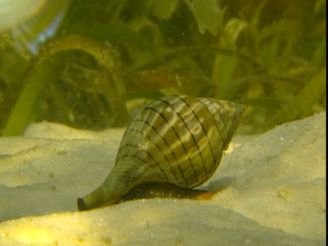 a small conch crawls over a sandy seabed. - animal shell stock videos & royalty-free footage