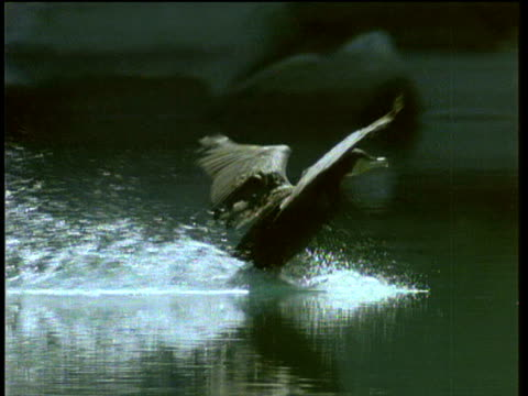 small cormorant bird skims and splashes along water surface as it comes in to land - water bird stock-videos und b-roll-filmmaterial