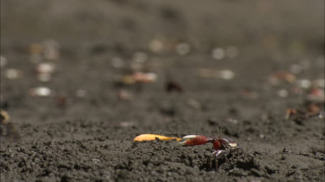 small crabs snap their claws on a sandy beach. - zuschnappen stock-videos und b-roll-filmmaterial