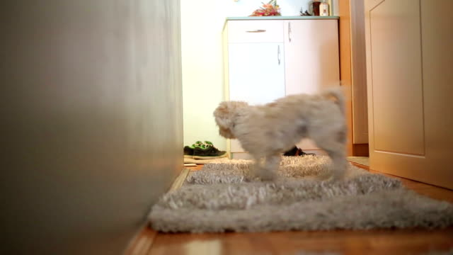 small cute dog enjoy at home - havanese stock videos and b-roll footage