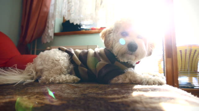 small cute dog enjoy at home - havanese stock videos & royalty-free footage