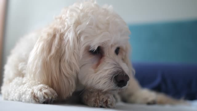 small cute dog enjoy at home - dog blinking stock videos & royalty-free footage