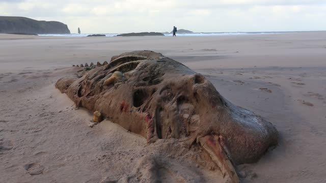 a small dead beaked whale washed ashore at sandwood bay, sutherland, north west highlands, scotland. - cetacea video stock e b–roll