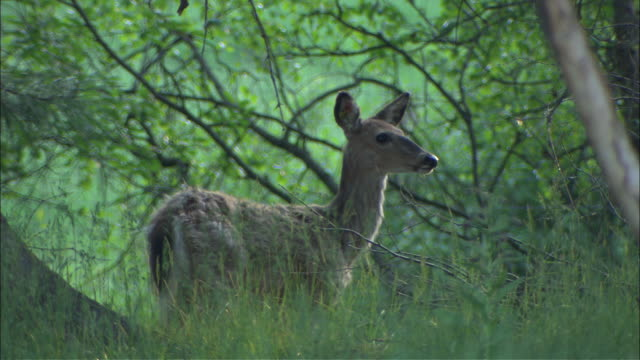a small deer observes his forest environment. - deer stock videos & royalty-free footage