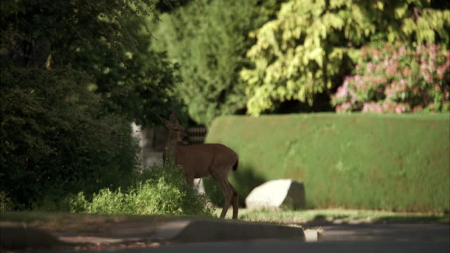 MS Small deer on residential street and car running by street / Unspecified