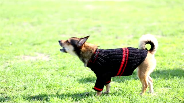 small dog in sweater barks at extraneous people. - pullover stock videos & royalty-free footage