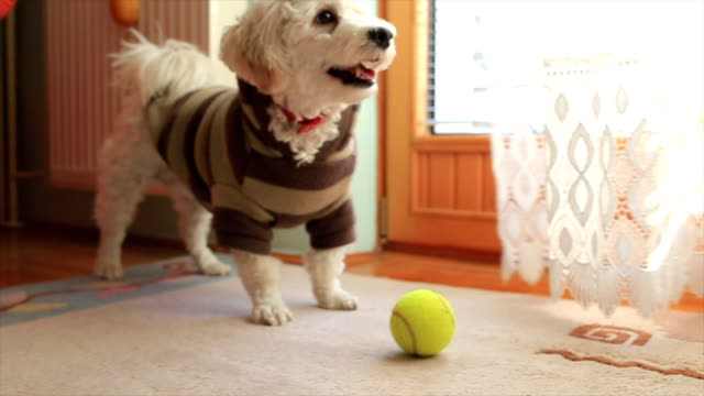small dog is having fun - dog coat stock videos and b-roll footage