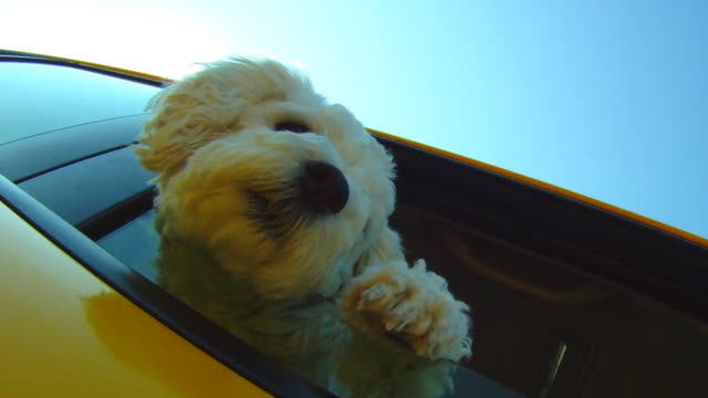 small dog leaning out car window going down the road - havanese stock videos & royalty-free footage