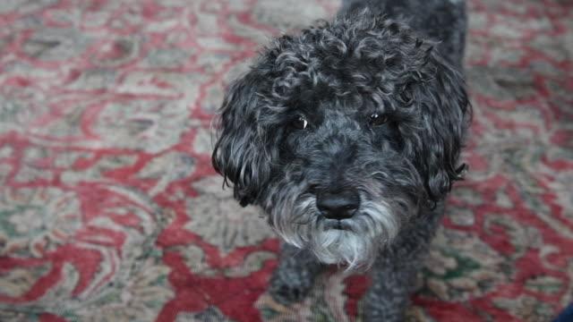 vídeos de stock e filmes b-roll de small dog looking at his owner - nariz de animal