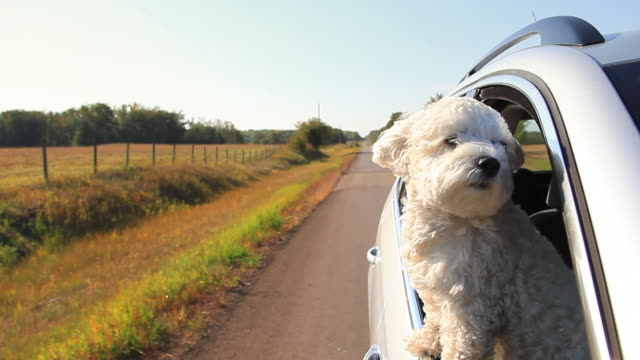 small dog looking out car window going down the road - window stock videos & royalty-free footage