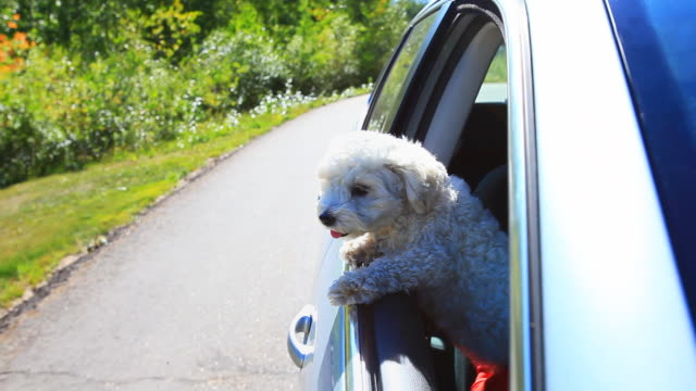 small dog looking out car window going down the road - havanese stock videos & royalty-free footage