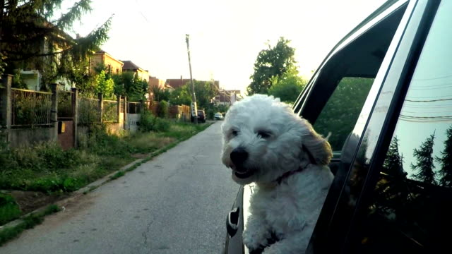small dog looking out car window going down the road - dog hair stock videos and b-roll footage