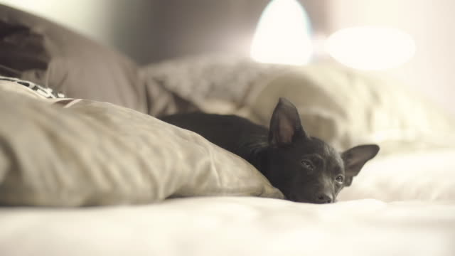 small dog lying in bed and taking a nap - 横たわる点の映像素材/bロール