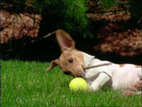 vídeos y material grabado en eventos de stock de small dog lying on grass playing with stick + tennis ball outdoors (smooth fox terrier?) - palo parte de planta