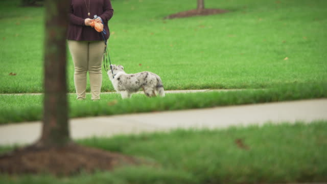 Small dog on a leash is led by its owner who carries a plastic bag of dog waste/poop in the rain.