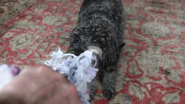 vídeos de stock e filmes b-roll de small dog pulling on his toy - nariz de animal