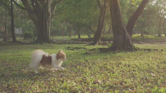 small dog running in field,4k slo mo - chihuahua stock videos & royalty-free footage