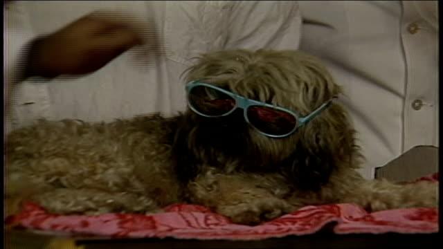 small dog wearing blue sunglasses - anno 1987 video stock e b–roll