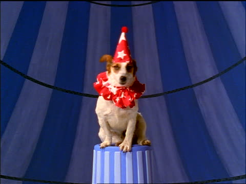 Small dog wearing party hat + ruffled collar sitting on circus pedestal